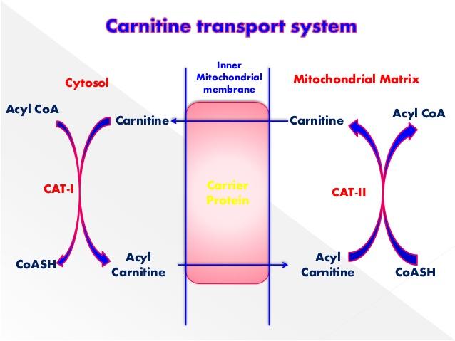 Carnitine transporteert vetzuren naar de mitochondria