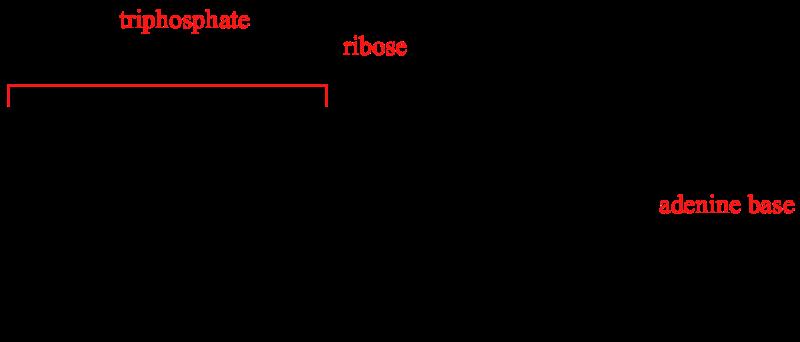 D-ribose is een essentieel onderdeel van het ATP molecuul