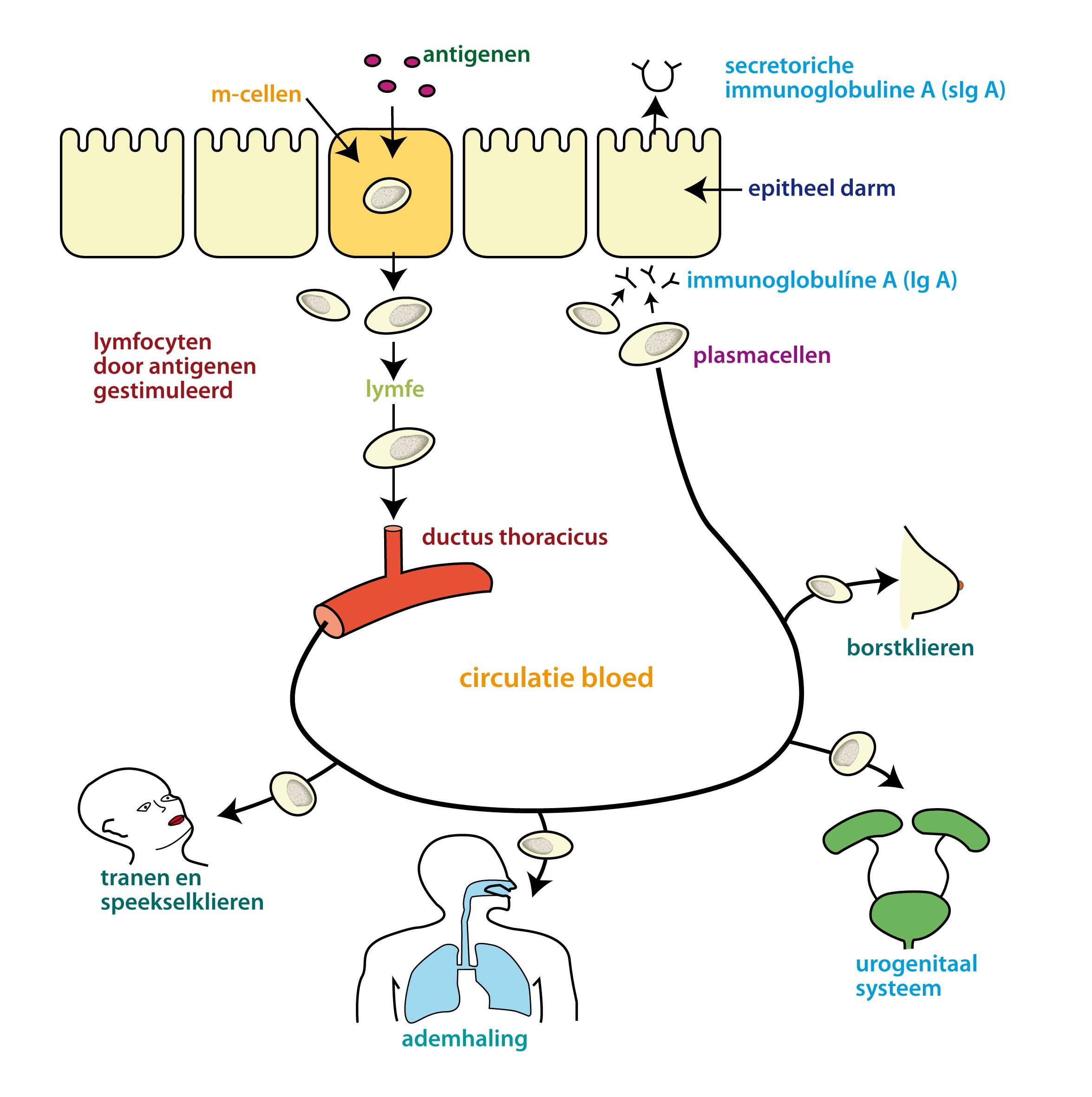 MHet immuunsysteem van de slijmvliezen in de vagina vormt één geheel