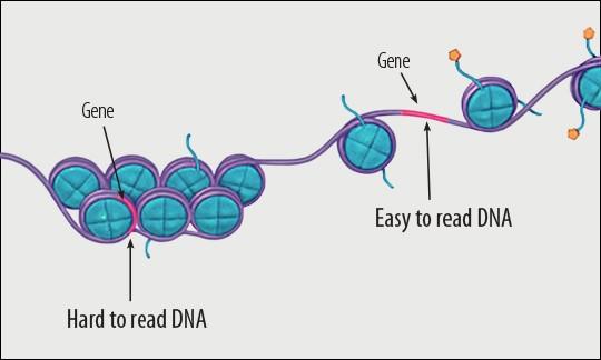 Bij epigentica kunnen genen moeilijk leesbaar gemaakt worden
